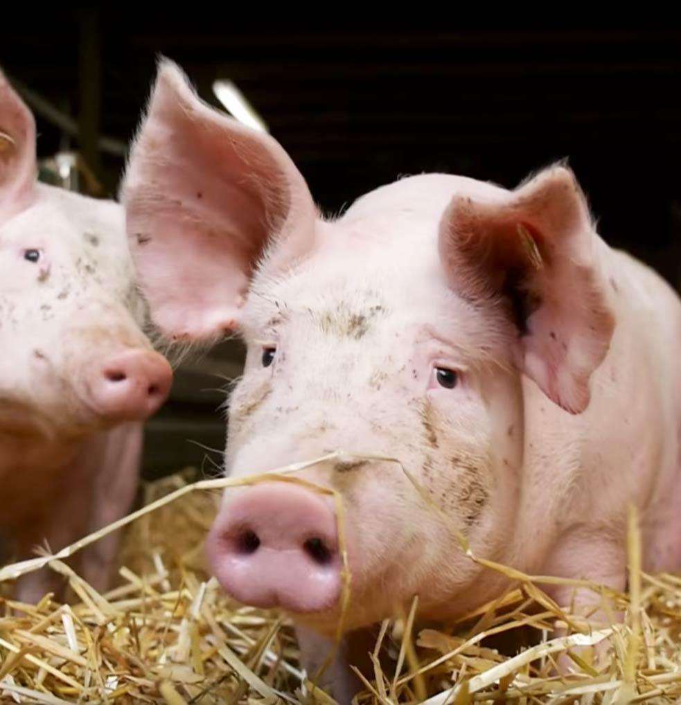 Wolfgang Wiegand regionale Schweinehaltung